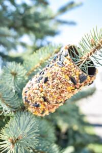 Toilet Paper Roll Bird Feeder hanging on an evergreen branch